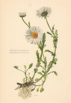 Image result for native flower scientific drawing