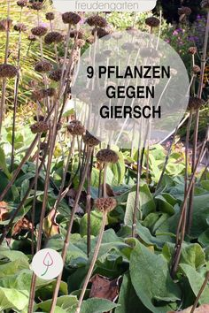 Giersch bekämpfen - Garden Care, Garden Design and Gardening Supplies Ground Cover, Landscaping Plants, Plants, Garden Care, Fast Growing Plants, Garden Types, Amazing Gardens, Perennials, Growing Plants