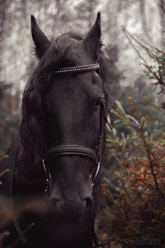 friesian Friesian Horse, Breyer Horses, Most Beautiful Horses, Pretty Horses, Black Horses, Wild Horses, Horse Photos, Horse Pictures, All About Horses