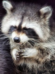 That was funny!Raccoon by AnastasiosX Rocky Raccoon, Baby Raccoon, Racoon, Animals And Pets, Baby Animals, Cute Animals, Woodland Creatures, Woodland Animals, Beautiful Creatures