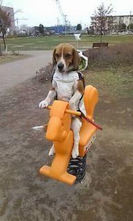 上手に遊具にまたがるビーグル犬のスアンちゃん