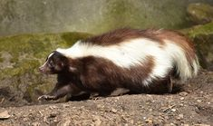 Smelly #Skunk- Skunks may look cute, but if you get sprayed by one, then it can be a major inconvenience. Be wary of #skunks if you see them around your property.