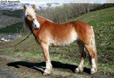 Coldblood Trotter mare Icora Isfugl