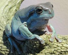 Whites tree frog Chameleons, Lizards, Amphibians, Reptiles, Whites Tree Frog, Amazing Frog, Tortoise Turtle, Terrapin, Cute Frogs