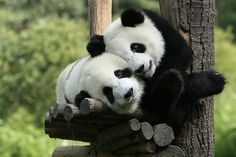 Best places to see some of the world's most endangered animals. Hang out with giant pandas in Sichuan.