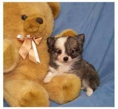 Chihuahua cuddling up to their teddy bear.