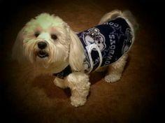 "Pet Clothes: ""Tuggles"" a Havanese is modeling an NFL Cowboys fleece coat www.kaizensinstylekreations.com facebook.com/8996KaizenChun"