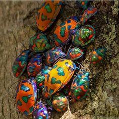 Harlequin beetles