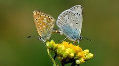 https://flic.kr/p/o2knkg   Polyommatus aedon   The Aedon Blue Couple