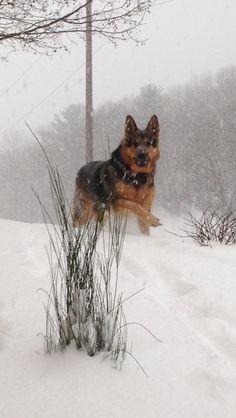 running German Shepherd.. so graceful *_*