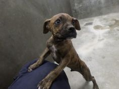 Please Help - They kill baby's there!  City of Odessa Animal Shelter Odessa, TX  14-57 • BABY Pit Bull Terrier & Boxer Mix • Male • Large