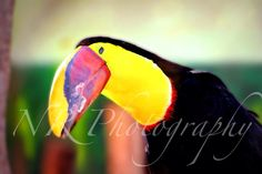 Toucan animal photography! My photography! More on my facebook page www.facebook.com/nrphotography4 :) Email me at nrphotography4@yahoo.com for info about photoshoots and more. Check out my new website www.nrphotography4.com! #photography #animal #toucan Animal Photography, Photoshoot, Facebook, Website, Check, Animals, Nature Photography, Photo Shoot, Animaux