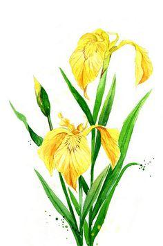 1000 best z kosatce iris images on pinterest painting flowers rh pinterest com