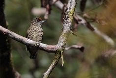 Lafresnaye's Piculet - Google Search
