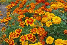 '130 French Marigold Flower Seeds ' is going up for auction at  4am Thu, Mar 21 with a starting bid of $5.