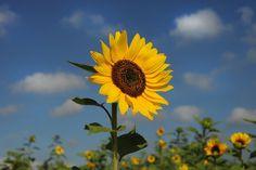 Sunflowers by Cristobal Garciaferro Rubio, via 500px