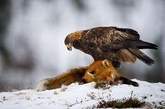 The red fox (Vulpes vulpes) in Golden eagle (Aquila chrysaetos) talon's. Nature Photography Tips, Wildlife Photography, Animal Photography, Bird Pictures, Animal Pictures, Nature Animals, Animals And Pets, Eagles, Pet Fox