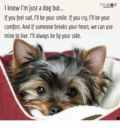 """Get wonderful pointers on """"yorkshire terrier puppies"""". They are offered for you on our web site. Teacup Yorkie, Teacup Puppies, Cute Puppies, Cute Dogs, Dogs And Puppies, Corgi Puppies, Yorshire Terrier, Bull Terriers, Yorky"""