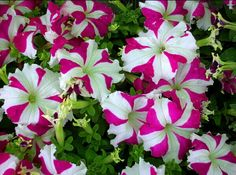 Petunia Plant, Different Flowers, Petunias, Love People, The Great Outdoors, Beautiful Gardens, Rose, Shrubs, Images