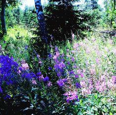 Ta piękna roślina która jest dosłownie wszędzie i wręcz tworzy norweskie lato to wierzbówka. Jestem mega dociekliwą osobą i kiedy na lekcji norweskiego w teście miałam słówko: geitrams - musiałam sprawdzić co to znaczy. Patrzę: wierzbówka. Nic mi to nie mówi Ok. Później wbiłam w Google zdjęcia i padłam: to ta pięknie kwitnąca rzecz która jest dosłownie wszędzie.  odnośnie ciekawych roślin dzisiaj będę gotować obiad z ... lisciami curry  wiedzieliście że są takie? Dzięki @jadlonomia stworzę… Plants, Model, Instagram, Scale Model, Plant, Models, Template, Planets