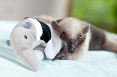 Baby anteaters come into the center fairly regularly, usually because the mother was either killed by a dog or hit by a car.