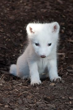 Don't know that it's really and Arctic fox baby (though that makes sense), but look at it.
