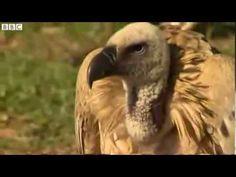 Poachers 'target vultures' in Africa