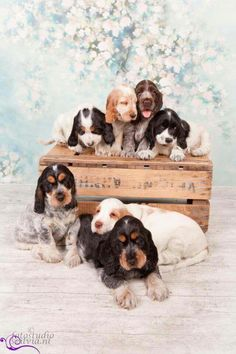 Exceptional Spaniels detail is available on our site. Take a look and you wont be sorry you did. Black Cocker Spaniel, Cocker Spaniel Puppies, Cute Puppies, Cute Dogs, Dogs And Puppies, Doggies, Funny Animal Pictures, Funny Animals, Cute Animals