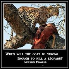 When will the goat be strong enough to kill a Leopard. Nigerian proverb