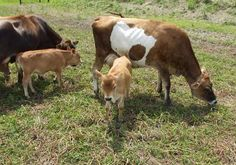 Good article on small breed/miniature dairy cattle.