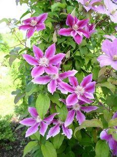 =Как размножить клематисы отводками============================================================Размножить один из красивейших цветов можно несколькими способами. Самый простой и доступный из них – это размножение отводками, который позволяет за короткое время получить несколько молодых растений без вреда для материнского куста.  Размножение клематисов с помощью отводков дает хорошие результаты в 95% случаев. А еще этот способ позволяет не травмировать основной куст.  ✔Когда можно приступать…