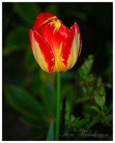 I like mix color tulips like this one.