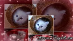 Ragdoll Cattery, Ragdoll Kittens For Sale, Kitten For Sale, Daily Pictures, Picture Video, Facebook, Pets, House, Animals