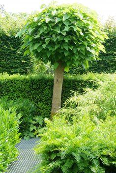 A advies Catalpa planten Catalpa Bignonioides nana Garden Landscape Design, Garden Trees, Love Garden, Urban Garden, Little Garden, City Garden, Trees To Plant, Outdoor Plants, Small Urban Garden
