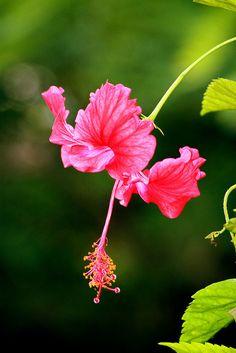 hibiscus = хибискус