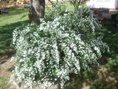 bridal veil bush - Google Search