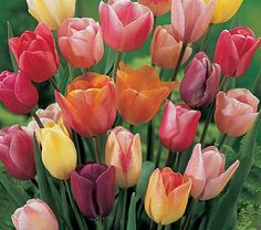 Peaches and Cream Tulip Mix from White Flower Farm. Peachy pink, one of the most beguiling colors, is rarely found in flowers, except for Tulips. We've created a mixture that employs this pleasing shade, accenting the peach with soft ivory, cream, and white. This mix is entrancing in the garden and produces exquisite bouquets. All are long-stemmed Tulips. Includes Darwin Hybrids, Triumphs, and Doubles. The mix is drawn from at least 20 varieties, not labeled. 25 bulbs cover 6 sq ft.