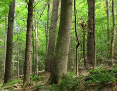 White Ash among the White Pines. Western Massachusetts. Ray Asselin, New England Forests.