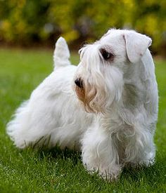 Sealyham Terrier - last on the possible relative list - still not sure what made him so small Sealyham Terrier, Best Dog Breeds, Best Dogs, I Love Dogs, Cute Dogs, Hypoallergenic Dog Breed, Terrier Breeds, New Puppy, Working Dogs