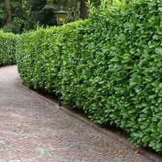 Need The Best Privacy Hedge For Your Yard? The Top 10 Ten Evergreen Privacy Hedge Plants You Can Buy - Fast Growing Instant Hedge! Cherry Laurel Hedge, Hedges Landscaping, Backyard Landscaping, Landscaping Ideas, Garden Hedges, English Laurel, Shrubs For Privacy, Gardens, Gates