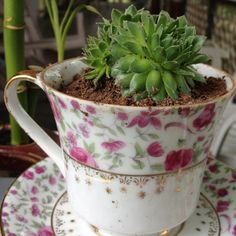 Succulents in teacups