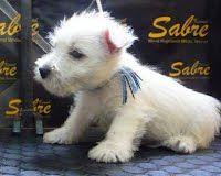 Preciosos cachorritos West Highland White Terrier   Machos y Hembras disponibles.  Tel. 01(222)614 0778 / Cel. WhatsApp 2222 999102 / Id. 52*332209*3  http://www.sabrekennel.com/cachorros-disponibles