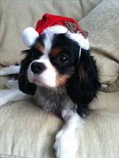 Peyton 1.5 yr old Cavalier King Charles Spaniel. #christmastime #ckcs #caviecutie