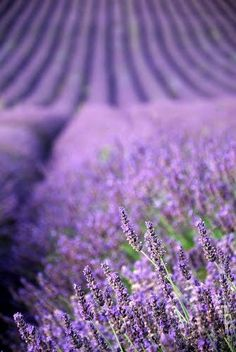 French Lavender - prefer this type of lavender over the other varieties