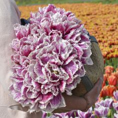 Welcome at our Flower Farm. Buy your fringed Hawaii tulip bulbs here! Cut Flowers, Spring Flowers, Planting Plants, Tulips Garden, Tulip Bulbs, Tulip Fields, Beautiful Color Combinations, Pink Tulips, Flower Farm
