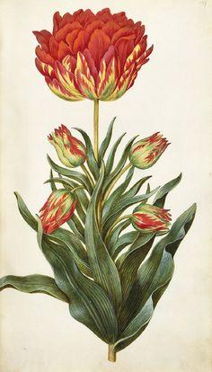 design-is-fine: Hans Simon Holtzbecker, Tulips (Tulipa), 1664-71. Hamburg, Germany. Drawing. © Kupferstichkabinett der Staatlichen Musee...