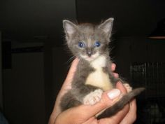 Meet Sinatra a Petfinder adoptable Domestic Short Hair - gray and white Cat | Woodmere, NY | This is Sinatra, an incredible adorable boy. He is 4 weeks old so still extremely young he is the...