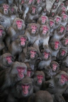 Monkey See Monkey Do, Primates, Carnival, Cute Animals, Japanese, Projects, Snow Monkeys, Lemurs, Meme