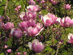 Grown either as a multi-stemmed large shrub or a small tree, Magnolia x soulangeana is considered by many to be one of the very best hardy, flowering specimen plants. Raised by Monsignor Étienne Soulange-Bodin in 1826 it is, in its many cultivars, perhaps the best and most popular magnolia of all.