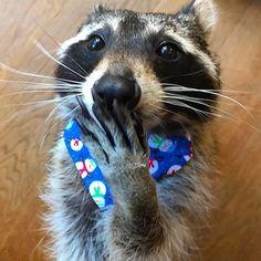 Доброе утро! #raccon #raccoonsofinstagram #raccoon #енотик #доменота #енотики
